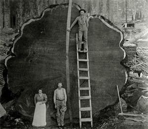 Penampakan Raksasa, Pohon-Sequoias